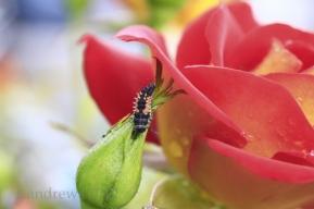 1207 Ladybug larvae 11