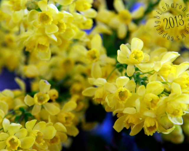 these blooms are so fragrant, and the blooms so cheerful in the grey spring days ( Oregon Grape)
