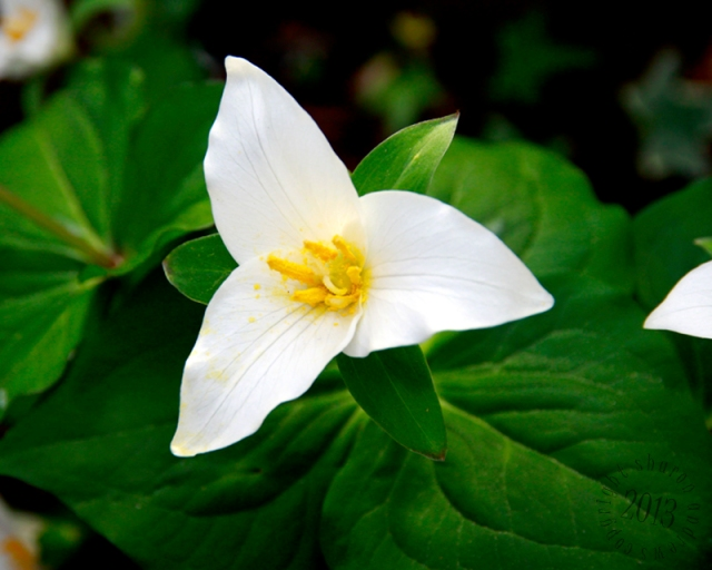 the simplicity of the Trillium always reminds me of my mom