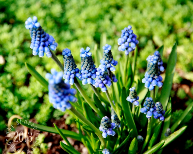 another classic spring gem, Muscari