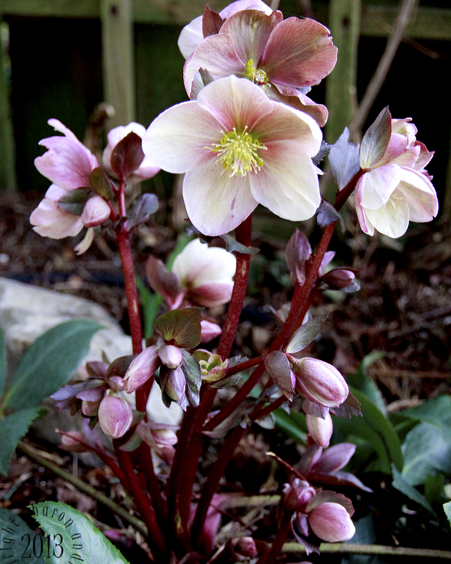 the burgundy colors of this winter rose remind me of my summer roses