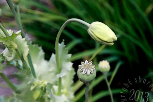 Poppy bud and seed head stylized