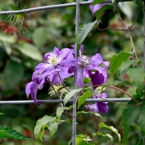 a Pacific NW garden staple, the clematis