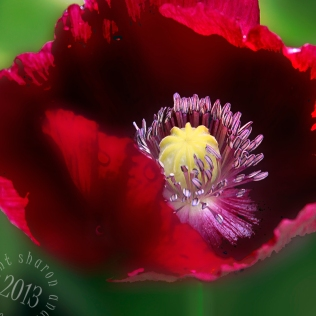 Red Poppy center