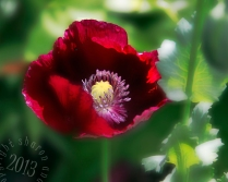 Red Poppy too stylized