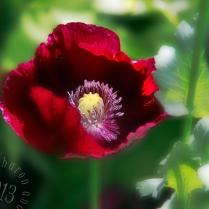 Red Poppy too stylized