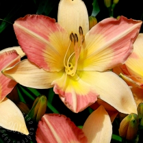 Salmon tipped Daylilies stylized