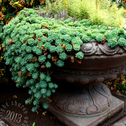 a personal fave of mine, sedum cascades out of the pot