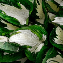 White and Green Hosta leaves stylized