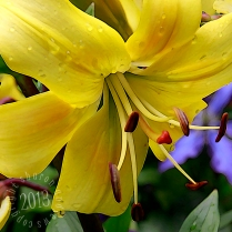 yellow lily center