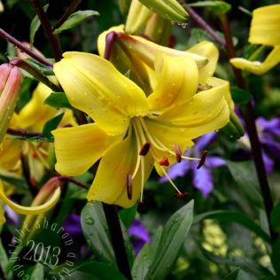nodding lily catching raindrops