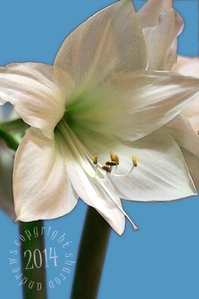 white amarylis