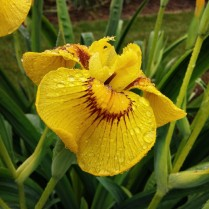 Mt Pleasant Iris Farm _01_1