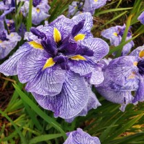 Mt Pleasant Iris Farm _02_1