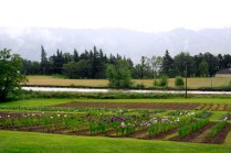 Mt Pleasant Iris Farm _03_1