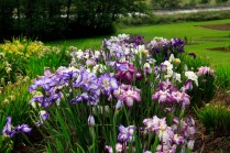 Mt Pleasant Iris Farm _04_1