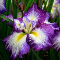 Mt Pleasant Iris Farm _06_1