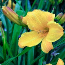 Mt Pleasant Iris Farm _07_1