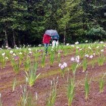 Mt Pleasant Iris Farm _12_1