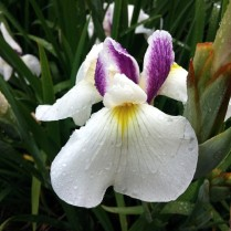 Mt Pleasant Iris Farm _14_1