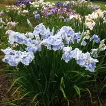 Mt Pleasant Iris Farm _15_1