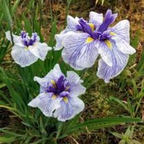 Mt Pleasant Iris Farm _18_1