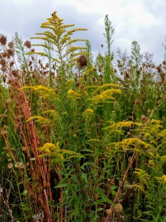 Goldenrod and other familiar weeds growing along a parking lot