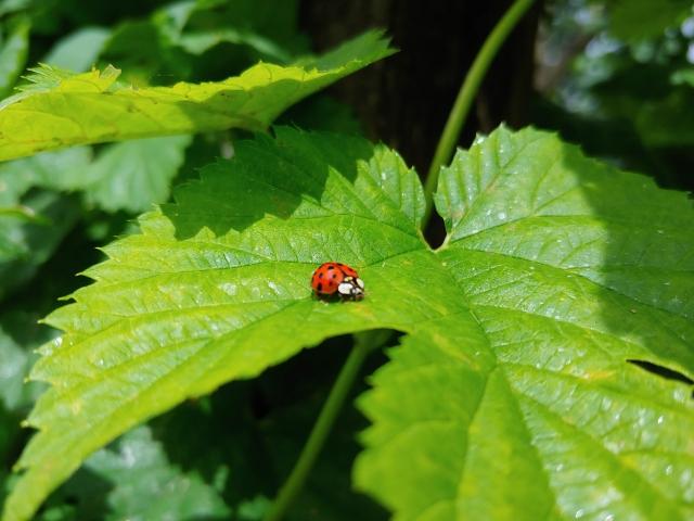 0613181309a ladybug